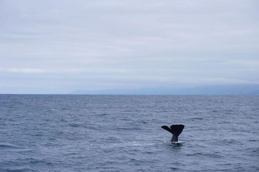 Wal vor Kaikoura